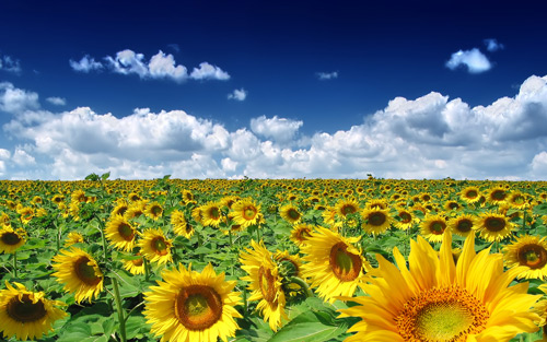 Summer Sunflowers 100 Absolutely Beautiful Nature Photography